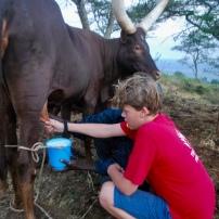 Milking Ankole cows